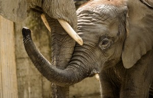 Elephant mom and baby from Mutual of Omaha's Wild Kingdom