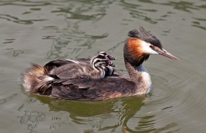 Grebe mom and babies from Mutual of Omaha's Wild Kingdom