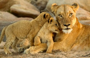 Lion mom and baby from Mutual of Omaha's Wild Kingdom