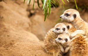 Meerkat mom and babies from Mutual of Omaha's Wild Kingdom