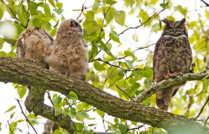Owl mom and babies from Mutual of Omaha's Wild Kingdom